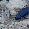 Dvitaškis žygis - Anisodactylus binotatus | Fotografijos autorius : Giedrius Markevičius | © Macrogamta.lt | Šis tinklapis priklauso bendruomenei kuri domisi makro fotografija ir fotografuoja gyvąjį makro pasaulį.