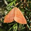 Raudonsprindis - Hylaea fasciaria | Fotografijos autorius : Povilas Sakalauskas | © Macrogamta.lt | Šis tinklapis priklauso bendruomenei kuri domisi makro fotografija ir fotografuoja gyvąjį makro pasaulį.