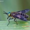 Aklys - Chrysops sp. | Fotografijos autorius : Žilvinas Pūtys | © Macrogamta.lt | Šis tinklapis priklauso bendruomenei kuri domisi makro fotografija ir fotografuoja gyvąjį makro pasaulį.