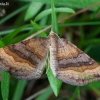 Rudasis pievasprindis - Scotopteryx chenopodiata | Fotografijos autorius : Žilvinas Pūtys | © Macrogamta.lt | Šis tinklapis priklauso bendruomenei kuri domisi makro fotografija ir fotografuoja gyvąjį makro pasaulį.
