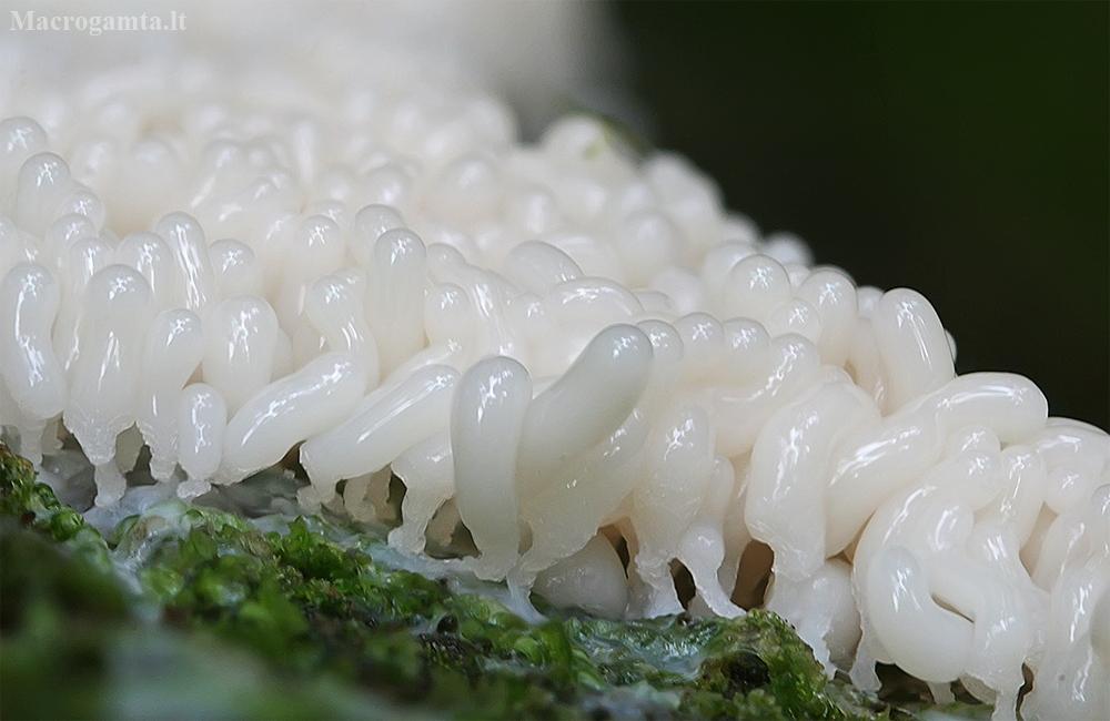 Seinė - Arcyria sp., jauni vaisiakūniai | Fotografijos autorius : Gintautas Steiblys | © Macrogamta.lt | Šis tinklapis priklauso bendruomenei kuri domisi makro fotografija ir fotografuoja gyvąjį makro pasaulį.