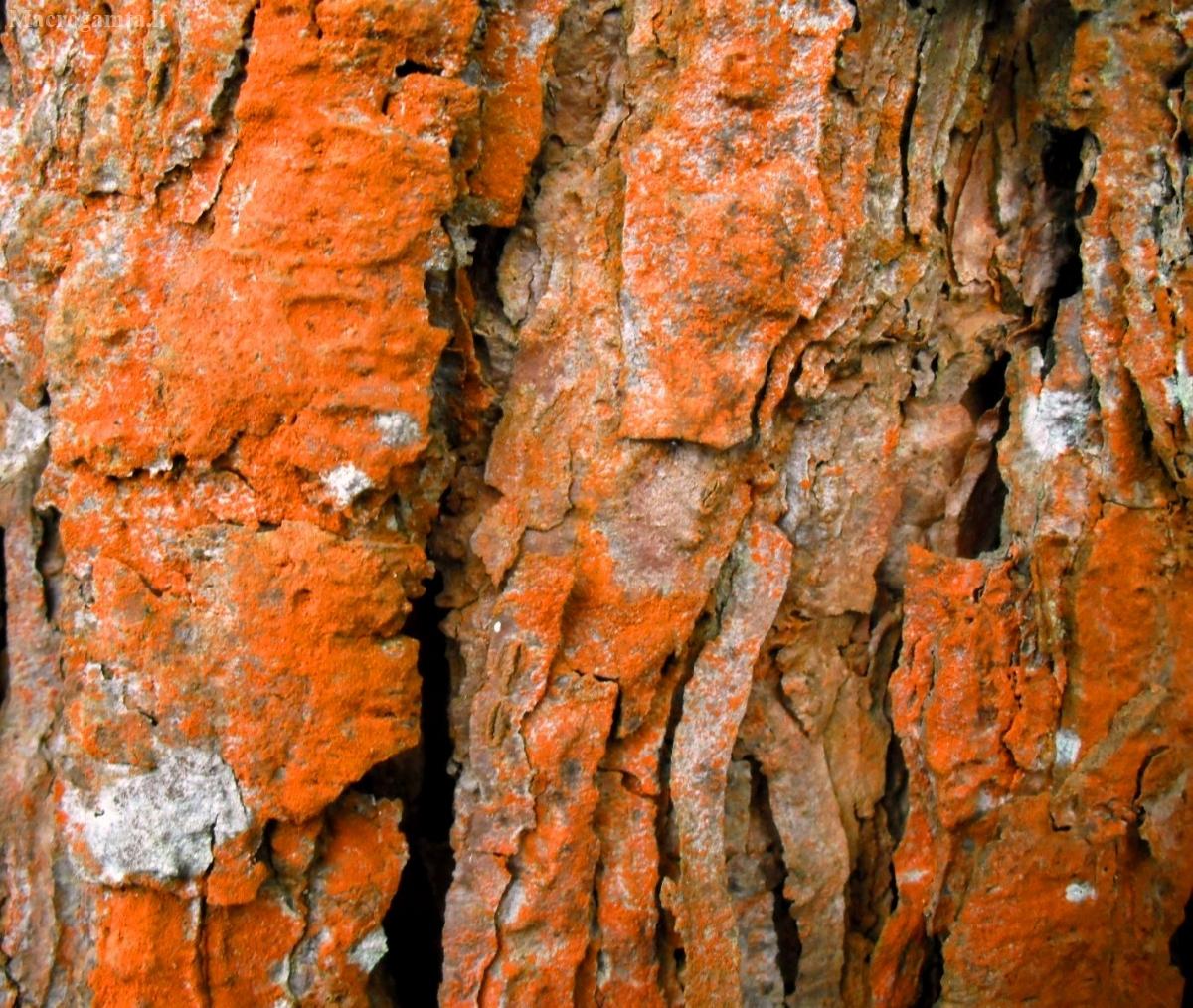 Pavėsinė trentepolija - Trentepohlia umbrina   Fotografijos autorius : Aleksandras Stabrauskas   © Macrogamta.lt   Šis tinklapis priklauso bendruomenei kuri domisi makro fotografija ir fotografuoja gyvąjį makro pasaulį.