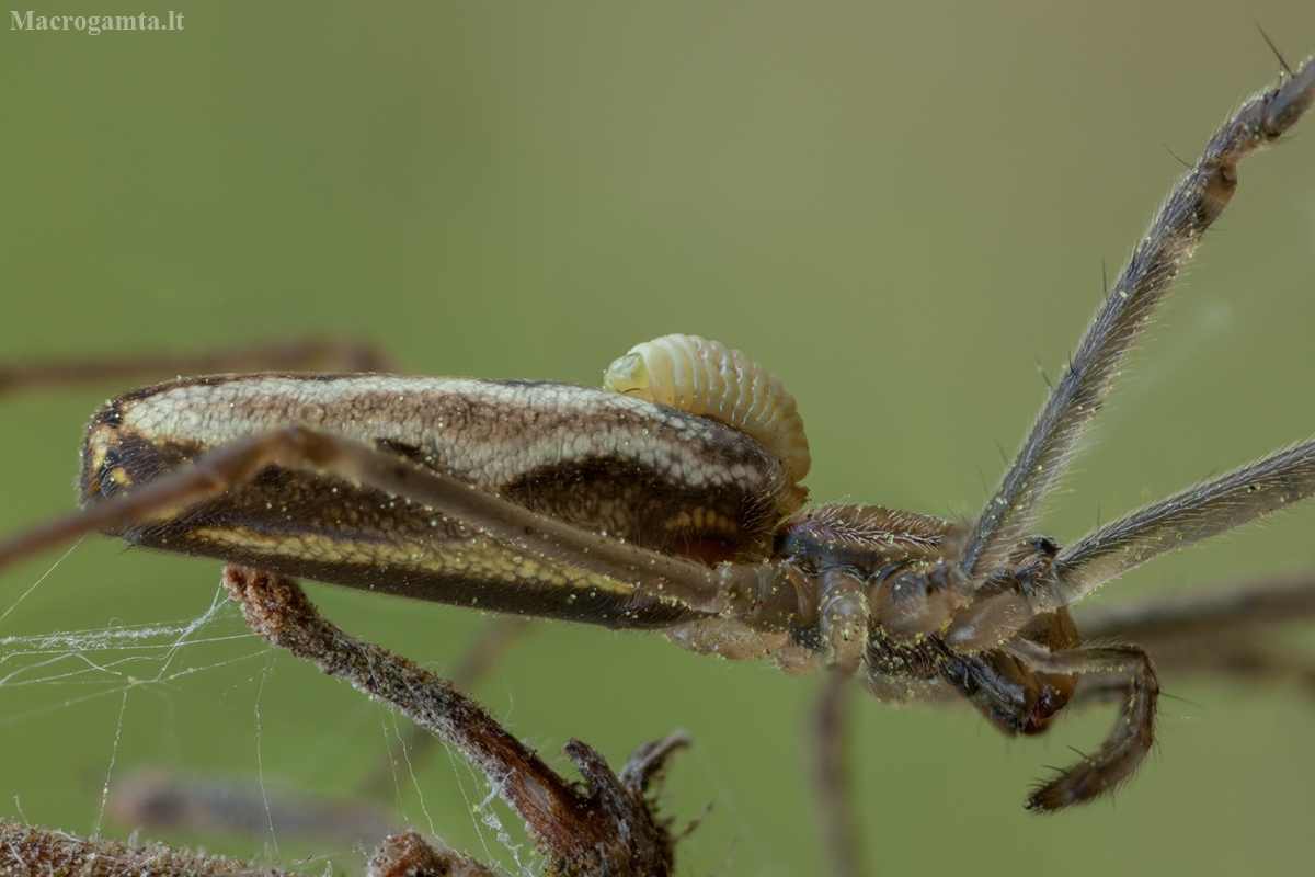 Vytis - Acrodactyla carinator, lerva   Fotografijos autorius : Žilvinas Pūtys   © Macrogamta.lt   Šis tinklapis priklauso bendruomenei kuri domisi makro fotografija ir fotografuoja gyvąjį makro pasaulį.