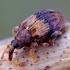 Šokliastraublis - Rhynchaenus xylostei | Fotografijos autorius : Romas Ferenca | © Macrogamta.lt | Šis tinklapis priklauso bendruomenei kuri domisi makro fotografija ir fotografuoja gyvąjį makro pasaulį.