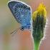 Baltajuostis melsvys - Eumedonia eumedon   Fotografijos autorius : Arūnas Eismantas   © Macrogamta.lt   Šis tinklapis priklauso bendruomenei kuri domisi makro fotografija ir fotografuoja gyvąjį makro pasaulį.