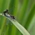 Šarvuotoji skėtė - Leucorrhinia pectoralis | Fotografijos autorius : Gediminas Gražulevičius | © Macrogamta.lt | Šis tinklapis priklauso bendruomenei kuri domisi makro fotografija ir fotografuoja gyvąjį makro pasaulį.