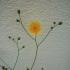 Dvimetė kreisvė - Crepis biennis | Fotografijos autorius : Aleksandras Stabrauskas | © Macrogamta.lt | Šis tinklapis priklauso bendruomenei kuri domisi makro fotografija ir fotografuoja gyvąjį makro pasaulį.