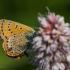Šiaurinis auksinukas - Lycaena helle | Fotografijos autorius : Dalia Račkauskaitė | © Macrogamta.lt | Šis tinklapis priklauso bendruomenei kuri domisi makro fotografija ir fotografuoja gyvąjį makro pasaulį.