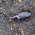 Šilinis šukažygis - Calathus micropterus | Fotografijos autorius : Romas Ferenca | © Macrogamta.lt | Šis tinklapis priklauso bendruomenei kuri domisi makro fotografija ir fotografuoja gyvąjį makro pasaulį.
