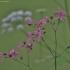 Šilkažiedė gaisrena - Silene flos-cuculi | Fotografijos autorius : Kęstutis Obelevičius | © Macrogamta.lt | Šis tinklapis priklauso bendruomenei kuri domisi makro fotografija ir fotografuoja gyvąjį makro pasaulį.