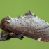 Širmoji odontozija - Odontosia carmelita | Fotografijos autorius : Žilvinas Pūtys | © Macrogamta.lt | Šis tinklapis priklauso bendruomenei kuri domisi makro fotografija ir fotografuoja gyvąjį makro pasaulį.