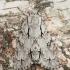 Šviespilkis strėlinukas - Acronicta cuspis | Fotografijos autorius : Žilvinas Pūtys | © Macrogamta.lt | Šis tinklapis priklauso bendruomenei kuri domisi makro fotografija ir fotografuoja gyvąjį makro pasaulį.