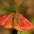 Šviesusis raudonsprindis - Lythria cruentaria   Fotografijos autorius : Ramunė Vakarė   © Macrogamta.lt   Šis tinklapis priklauso bendruomenei kuri domisi makro fotografija ir fotografuoja gyvąjį makro pasaulį.
