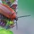 Ūsuotiškasis dulkiagraužis - Pseudocistela ceramboides | Fotografijos autorius : Gintautas Steiblys | © Macrogamta.lt | Šis tinklapis priklauso bendruomenei kuri domisi makro fotografija ir fotografuoja gyvąjį makro pasaulį.