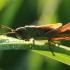 Žaliasis skėriukas - Omocestus viridulus | Fotografijos autorius : Ramunė Vakarė | © Macrogamta.lt | Šis tinklapis priklauso bendruomenei kuri domisi makro fotografija ir fotografuoja gyvąjį makro pasaulį.