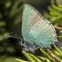 Žalsvasis varinukas - Callophrys rubi   Fotografijos autorius : Kazimieras Martinaitis   © Macrogamta.lt   Šis tinklapis priklauso bendruomenei kuri domisi makro fotografija ir fotografuoja gyvąjį makro pasaulį.