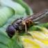 Žalutė - Cheilosia flavipes | Fotografijos autorius : Romas Ferenca | © Macrogamta.lt | Šis tinklapis priklauso bendruomenei kuri domisi makro fotografija ir fotografuoja gyvąjį makro pasaulį.