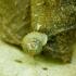 Žieduotoji lūpenė - Vallonia costata | Fotografijos autorius : Romas Ferenca | © Macrogamta.lt | Šis tinklapis priklauso bendruomenei kuri domisi makro fotografija ir fotografuoja gyvąjį makro pasaulį.
