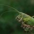 Žiogas giesmininkas - Tettigonia cantans | Fotografijos autorius : Armandas Kazlauskas | © Macrogamta.lt | Šis tinklapis priklauso bendruomenei kuri domisi makro fotografija ir fotografuoja gyvąjį makro pasaulį.