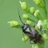 Skėtinė žolblakė - Orthops basalis | Fotografijos autorius : Vidas Brazauskas | © Macrogamta.lt | Šis tinklapis priklauso bendruomenei kuri domisi makro fotografija ir fotografuoja gyvąjį makro pasaulį.