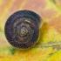 Žolinė šeriuotė - Trochulus hispidus | Fotografijos autorius : Eglė Vičiuvienė | © Macrogamta.lt | Šis tinklapis priklauso bendruomenei kuri domisi makro fotografija ir fotografuoja gyvąjį makro pasaulį.