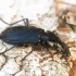 Juodasis smiltžygis - Pterostichus niger | Fotografijos autorius : Vidas Brazauskas | © Macrogamta.lt | Šis tinklapis priklauso bendruomenei kuri domisi makro fotografija ir fotografuoja gyvąjį makro pasaulį.