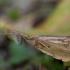 Apsiuva - Limnephilus flavicornis ♂   Fotografijos autorius : Žilvinas Pūtys   © Macrogamta.lt   Šis tinklapis priklauso bendruomenei kuri domisi makro fotografija ir fotografuoja gyvąjį makro pasaulį.