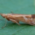 Apsiuva - Limnephilus lunatus ♀ | Fotografijos autorius : Žilvinas Pūtys | © Macrogamta.lt | Šis tinklapis priklauso bendruomenei kuri domisi makro fotografija ir fotografuoja gyvąjį makro pasaulį.