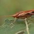 Apsiuva - Limnephilus rhombicus ♀ | Fotografijos autorius : Gintautas Steiblys | © Macrogamta.lt | Šis tinklapis priklauso bendruomenei kuri domisi makro fotografija ir fotografuoja gyvąjį makro pasaulį.