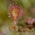 Apskritalapė saulašarė - Drosera rotundifolia   Fotografijos autorius : Gediminas Gražulevičius   © Macrogamta.lt   Šis tinklapis priklauso bendruomenei kuri domisi makro fotografija ir fotografuoja gyvąjį makro pasaulį.
