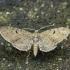 Apyninis sprindytis - Eupithecia assimilata | Fotografijos autorius : Vidas Brazauskas | © Macrogamta.lt | Šis tinklapis priklauso bendruomenei kuri domisi makro fotografija ir fotografuoja gyvąjį makro pasaulį.