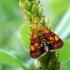 Auksaspalvė pyrausta - Pyrausta aurata | Fotografijos autorius : Oskaras Venckus | © Macrogamta.lt | Šis tinklapis priklauso bendruomenei kuri domisi makro fotografija ir fotografuoja gyvąjį makro pasaulį.