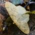 Auksasprindis - Agriopis aurantiaria   Fotografijos autorius : Kazimieras Martinaitis   © Macrogamta.lt   Šis tinklapis priklauso bendruomenei kuri domisi makro fotografija ir fotografuoja gyvąjį makro pasaulį.