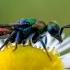 Auksavapsvė - Chrysis sp. | Fotografijos autorius : Oskaras Venckus | © Macrogamta.lt | Šis tinklapis priklauso bendruomenei kuri domisi makro fotografija ir fotografuoja gyvąjį makro pasaulį.
