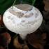Palšoji žvynabudė - Macrolepiota mastoidea | Fotografijos autorius : Aleksandras Stabrauskas | © Macrogamta.lt | Šis tinklapis priklauso bendruomenei kuri domisi makro fotografija ir fotografuoja gyvąjį makro pasaulį.