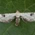Baltasis sprindytis - Eupithecia centaureata | Fotografijos autorius : Žilvinas Pūtys | © Macrogamta.lt | Šis tinklapis priklauso bendruomenei kuri domisi makro fotografija ir fotografuoja gyvąjį makro pasaulį.