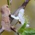 Baltasparnis ankstyvasis pelėdgalvis - Orthosia miniosa | Fotografijos autorius : Arūnas Eismantas | © Macrogamta.lt | Šis tinklapis priklauso bendruomenei kuri domisi makro fotografija ir fotografuoja gyvąjį makro pasaulį.