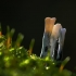 Baltaviršūnis elniagrybis -Xylaria hypoxylon   Fotografijos autorius : Irenėjas Urbonavičius   © Macrogamta.lt   Šis tinklapis priklauso bendruomenei kuri domisi makro fotografija ir fotografuoja gyvąjį makro pasaulį.