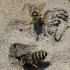 Ilgažandis bembiksas - Bembix rostrata | Fotografijos autorius : Vitalii Alekseev | © Macrogamta.lt | Šis tinklapis priklauso bendruomenei kuri domisi makro fotografija ir fotografuoja gyvąjį makro pasaulį.