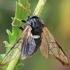Beržinis cimbeksas - Cimbex femoratus | Fotografijos autorius : Gintautas Steiblys | © Macrogamta.lt | Šis tinklapis priklauso bendruomenei kuri domisi makro fotografija ir fotografuoja gyvąjį makro pasaulį.