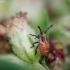 Rhopalus sp.   Fotografijos autorius : Vidas Brazauskas   © Macrogamta.lt   Šis tinklapis priklauso bendruomenei kuri domisi makro fotografija ir fotografuoja gyvąjį makro pasaulį.
