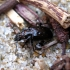 Daugiataškis žygis - Blethisa multipunctata | Fotografijos autorius : Vitalii Alekseev | © Macrogamta.lt | Šis tinklapis priklauso bendruomenei kuri domisi makro fotografija ir fotografuoja gyvąjį makro pasaulį.