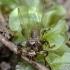 Briedmusė - Lipoptena cervi | Fotografijos autorius : Kazimieras Martinaitis | © Macrogamta.lt | Šis tinklapis priklauso bendruomenei kuri domisi makro fotografija ir fotografuoja gyvąjį makro pasaulį.