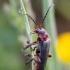 Raudonkojis minkštavabalis - Cantharis rustica | Fotografijos autorius : Žilvinas Pūtys | © Macrogamta.lt | Šis tinklapis priklauso bendruomenei kuri domisi makro fotografija ir fotografuoja gyvąjį makro pasaulį.