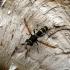 Žiedmusė - Ceriana conopsoides | Fotografijos autorius : Vitalii Alekseev | © Macrogamta.lt | Šis tinklapis priklauso bendruomenei kuri domisi makro fotografija ir fotografuoja gyvąjį makro pasaulį.