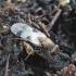 Cheiropachus quadrum | Fotografijos autorius : Romas Ferenca | © Macrogamta.lt | Šis tinklapis priklauso bendruomenei kuri domisi makro fotografija ir fotografuoja gyvąjį makro pasaulį.