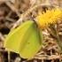 Citrinukas - Gonepteryx rhamni | Fotografijos autorius : Ramunė Vakarė | © Macrogamta.lt | Šis tinklapis priklauso bendruomenei kuri domisi makro fotografija ir fotografuoja gyvąjį makro pasaulį.