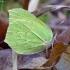 Citrinukas - Gonepteryx rhamni   Fotografijos autorius : Romas Ferenca   © Macrogamta.lt   Šis tinklapis priklauso bendruomenei kuri domisi makro fotografija ir fotografuoja gyvąjį makro pasaulį.