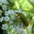 Geltonasis dulkiagraužis - Cteniopus sulphureus | Fotografijos autorius : Vitalii Alekseev | © Macrogamta.lt | Šis tinklapis priklauso bendruomenei kuri domisi makro fotografija ir fotografuoja gyvąjį makro pasaulį.