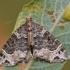 Danteninė cidarija - Ecliptopera silaceata | Fotografijos autorius : Arūnas Eismantas | © Macrogamta.lt | Šis tinklapis priklauso bendruomenei kuri domisi makro fotografija ir fotografuoja gyvąjį makro pasaulį.